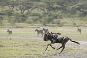 White Bearded Wildebeest Running, Tanzania