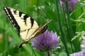 The Old World Swallowtail On A Chive Flower