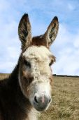 pic of jack-ass  - a donkey resting in a field on the west coast of ireland - JPG