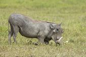 Male Warthog (phacochoerus Africanus) Feeding On Knees