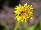 A honeybee at the flowering dandelion