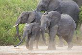 African Elephants (loxodonta Africana) In Tanzania