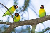 Masked Lovebirds (agapornis Personatus) Tarangire, Tanzania