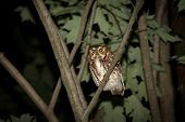 picture of screech-owl  - Eastern Screech Owl perched in a tree at night