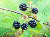 Wood Berry A Blackberry