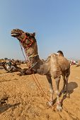 foto of camel  - Camels at Pushkar Mela  - JPG
