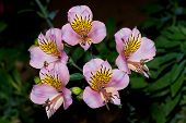 Inca Lilies Alstroemeria