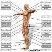 stock photo of oblique  - Vector 3D male or human anatomy - JPG