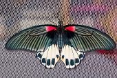 Top View Of Female Great Mormon Butterfly
