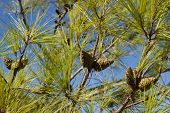 Branches With Green Pine Cones