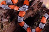 False Snake Coral