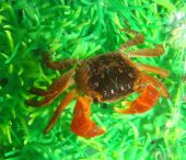 Midget Mangrove Crab Lately In Aquarium