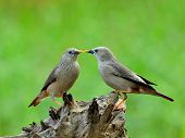 Pair Of Chestnut-tailed Starling Birds Are Kissing In Very Romantic Moments (sturnus Malabaricus)