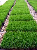 Wheatgrass Wide