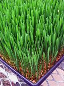 Wheatgrass Close