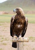 Golden Eagle In Brail