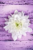 Beautiful chrysanthemum flower on wooden table close-up