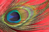 stock photo of color animal  - Peacock feather with vivd colors - JPG