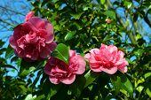 Camellia japonica 'Ada Piper'