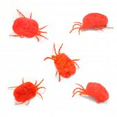 The Red Velvet Mites (Trombidium Holosericeum). The oil from this parasitic bug is used in alternati