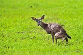 A Young Doe In A Field Urinating