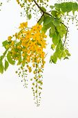 image of vishu  - Flower of golden shower tree on cloudy sky background - JPG
