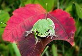 foto of red eye tree frog  - Front view of a Gray Tree frog showing a bright green coloration sitting on a red maple leaf - JPG