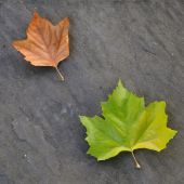 pic of paving stone  - Fallen maple leaves in autumn against stone paving - JPG