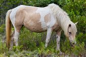 Assateague Wild Pony