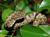 víbora de pestaña camuflado selva en árbol