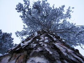 picture of suceava  - Tall conifer photographed in Suceava town - JPG
