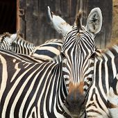 Portrait of a zebra in the jungle