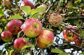 Ripened Apples On The Tree