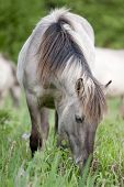 foto of horses eating  - Wild horse eating grass in the late afternoon - JPG