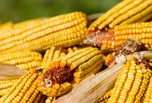 stock photo of corn cob close-up  - Close up of corn cobs on pile