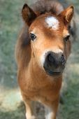 pic of pastures  - Baby miniature horse in the pasture looking curiously at camera