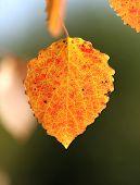 autumn leaf aspen