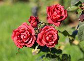 photo beautiful unusual roses