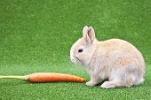 Domestic Rabbit And Carrot poster