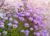 Aster Novi-belgii In Garden Flowerbed In Autumn