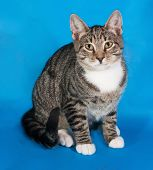 stock photo of blue tabby  - Tabby kitten with white spots sitting on blue background - JPG