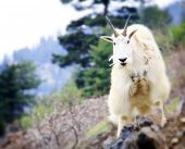 Inquisitive Mountain Goat