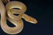 Arabian cat snake / Telescopus dhara