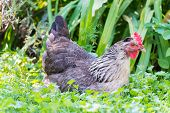 Chickens on grass outdoors day