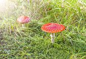 Two Spotted Toadstools On Grass And Moss.