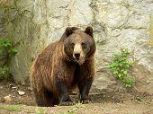 Brown Bear Looking