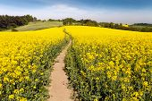 picture of turnip greens  - Field of rapeseed  - JPG