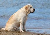 Labrador At The Sea Portrait Close Up