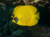image of butterfly fish  - Paired Butterfly Fish nestled beneath a table coral in the Red Sea - JPG
