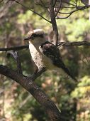 picture of blue winged kookaburra  - kookaburra - JPG